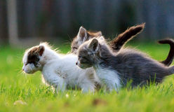 Grupo de três gatinhos Imagem de Stock Royalty Free