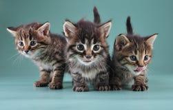 Grupo de três gatinhos pequenos junto Foto de Stock Royalty Free