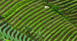 Grupo de trabajo de los granjeros sobre campos colgantes almacen de metraje de vídeo