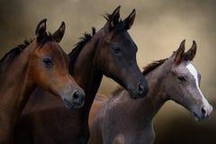 Grupo de tres caballos jovenes Fotos de archivo libres de regalías