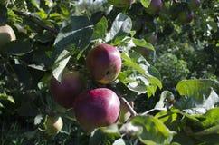 Grupo de tres grandes de manzana madura Fotografía de archivo