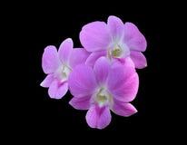 Grupo de tres pálidos - la orquídea rosada del dendrobium florece Imágenes de archivo libres de regalías