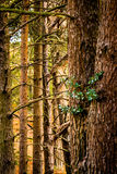 Grupo de troncos de árbol de la conífera fotografía de archivo libre de regalías