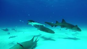 Grupo de tubarão de Bull subaquático na areia de Tiger Beach Bahamas video estoque