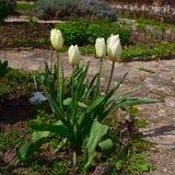 Grupo de tulipanes blancos en un jardín botánico en primavera Imagen de archivo libre de regalías