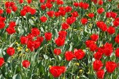 Grupo de tulipanes rojos en el parque imagen de archivo