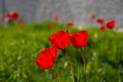 Grupo de tulipanes rojos en un prado verde Imagen de archivo