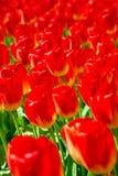 Grupo de tulipanes rojos florecientes desde arriba en primer Imagenes de archivo