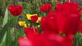 Grupo de tulipanes rojos y amarillos hermosos Defocused metrajes