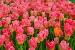 Grupo de tulipanes rosados Fotos de archivo libres de regalías