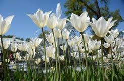 Grupo de tulipanes rosados en el cielo azul de los agains del parque Fotos de archivo