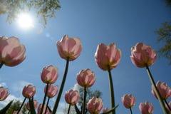 Grupo de tulipanes rosados en el cielo azul de los agains del parque Foto de archivo libre de regalías