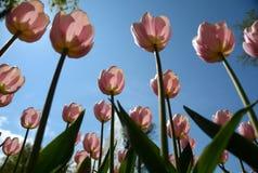 Grupo de tulipanes rosados en el cielo azul de los agains del parque Foto de archivo
