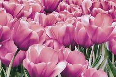 Grupo de tulipanes rosados pintorescos en el macizo de flores, campo de tulipanes coloridos en primavera Fondo natural romántico  foto de archivo