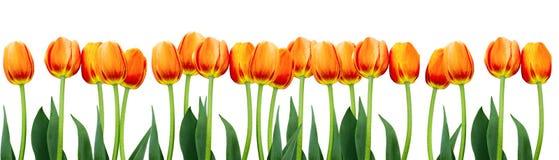 Grupo de tulipas cor-de-rosa das flores no fundo branco Fotos de Stock Royalty Free