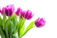 Grupo de tulipas roxas Fotografia de Stock