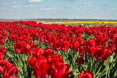 Grupo de tulipas vermelhas no parque Imagem de Stock