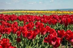 Grupo de tulipas vermelhas no parque Foto de Stock Royalty Free