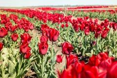 Grupo de tulipas vermelhas no parque Imagens de Stock