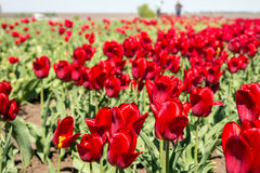 Grupo de tulipas vermelhas no parque Fotografia de Stock Royalty Free