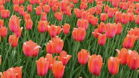 Grupo de tulipas vermelhas no parque no movimento de deslizamento liso Paisagem da mola vídeos de arquivo