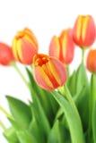 Grupo de tulips bonitos Imagem de Stock