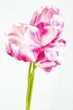 Grupo de tulips cor-de-rosa e brancos Foto de Stock Royalty Free
