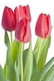 Grupo de Tulips vermelhos Fotografia de Stock
