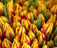 Grupo de tulips vermelhos e amarelos Fotografia de Stock