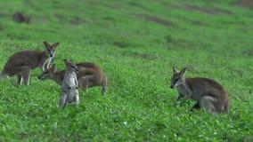 Grupo de ualabis en un campo de hierba en la playa Queensland, Australia de la misión metrajes