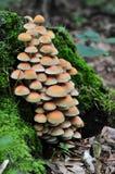 Grupo de um cogumelo selvagem em um musgo fotografia de stock