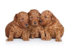 Grupo de um filhote de cachorro da caniche de brinquedo (20 dias) fotografia de stock