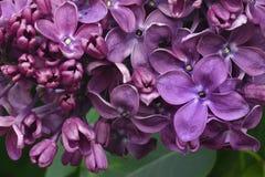 Grupo de uma flor do lilás roxo: a parte das flores abriu, parte das flores nos botões Fotos de Stock Royalty Free