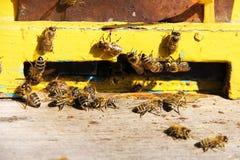 Grupo de una abeja en la entrada a la colmena de la colmena amarilla Foto de archivo