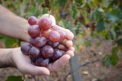 Grupo de uvas à disposição imagem de stock