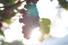 Grupo de uvas fotografia de stock