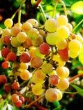 Grupo de uvas Fotos de Stock