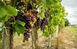 Grupo de uvas Imagem de Stock
