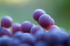 Grupo de uvas Imagens de Stock Royalty Free
