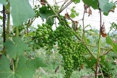 Grupo de uvas ainda agridoce Foto de Stock Royalty Free