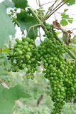 Grupo de uvas ainda agridoce Fotos de Stock Royalty Free