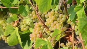 Grupo de uvas de amadurecimento nas videiras que crescem no vinhedo no por do sol Uvas para vinho brancas em uma vinha no fim do  video estoque