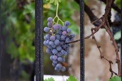 Grupo de uvas atrás de uma cerca Fotografia de Stock Royalty Free