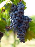 Grupo de uvas azuis Imagem de Stock