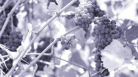 Grupo de uvas azuis na jarda da videira filme