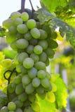 Grupo de uvas em um ramo Fotografia de Stock
