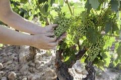 Grupo de uvas em um vinhedo Imagens de Stock Royalty Free