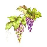 Grupo de uvas Ilustração da aquarela da tração da mão Ilustração da aquarela da tração da mão Imagens de Stock