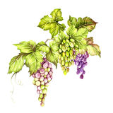 Grupo de uvas Ilustração da aquarela da tração da mão Ilustração da aquarela da tração da mão Foto de Stock Royalty Free