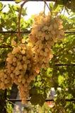 Grupo de uvas no sol da manhã Fotos de Stock